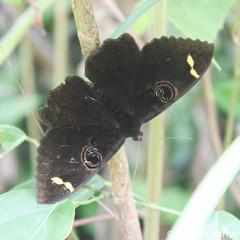 photo-0725.jpg (GeeC) Tags: tatai animalia insecta arthropoda nature erebus lepidoptera erebinae kohkongprovince cambodia erebushieroglyphica noctuoidea erebidae butterfliesmoths ឃុំឫស្សីជ្ kohkong