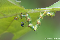 Homodes sp. (GeeC) Tags: homodes noctuoidea animalia nature cambodia lepidoptera boletobiinae kohkongprovince insecta tatai arthropoda erebidae butterfliesmoths