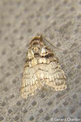 Nola sp. (GeeC) Tags: noctuoidea animalia nola nolidae nature arthropoda cambodia nolinae insecta kohkongprovince tatai lepidoptera butterfliesmoths tuftmoths