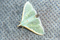 Arthroschista hilaralis (GeeC) Tags: tatai animalia crambidae arthroschista nature arthropoda cambodia kohkongprovince spilomelinae insecta pyraloidea lepidoptera