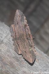 Anisoneura aluco (GeeC) Tags: noctuoidea animalia cambodia nature anisoneuraaluco tatai lepidoptera erebinae kohkongprovince insecta arthropoda anisoneura erebidae butterfliesmoths
