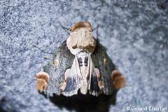 Risoba sp. (GeeC) Tags: noctuoidea risoba nolidae nature cambodia arthropoda tatai kohkongprovince insecta animalia lepidoptera risobinae butterfliesmoths tuftmoths ឃុំឫស្សីជ្ kohkong