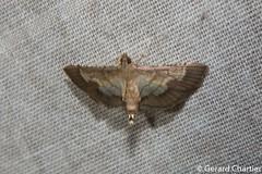 Cnaphalocrocis limbalis (GeeC) Tags: tatai animalia crambidae nature arthropoda lepidoptera cnaphalocrocis kohkongprovince cambodia insecta pyraloidea spilomelinae ឃុំឫស្សីជ្ kohkong