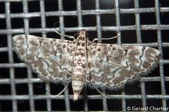 Metoeca foedalis (GeeC) Tags: tatai animalia crambidae nature metoeca arthropoda cambodia kohkongprovince spilomelinae lepidoptera pyraloidea insecta ឃុំឫស្សីជ្ kohkong