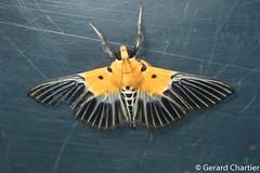 Nevrina procopia (GeeC) Tags: nevrina animalia crambidae nature arthropoda lepidoptera insecta kohkongprovince cambodia spilomelinae pyraloidea tatai ឃុំឫស្សីជ្ kohkong