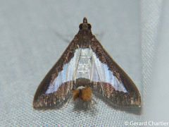 Diaphania indica (GeeC) Tags: tatai animalia crambidae nature diaphania lepidoptera arthropoda kohkongprovince spilomelinae insecta pyraloidea cambodia ឃុំឫស្សីជ្ kohkong