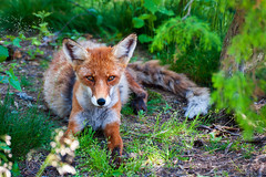 Fox (Mikael Neiberg) Tags: fox animals nature wildlife finnishnature nikond700 tamronsp70300mmf456divcusd