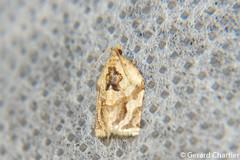 Archips sp. (GeeC) Tags: tatai animalia nature cambodia arthropoda lepidoptera kohkongprovince insecta tortricoidea archips tortricidae butterfliesmoths leafrollermoths