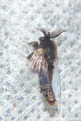 Case-bearing Moth (Psychidae), male (GeeC) Tags: tatai animalia psychidae nature arthropoda kohkongprovince insecta cambodia tineoidea lepidoptera bagwormmoths butterfliesmoths casebearingmoths