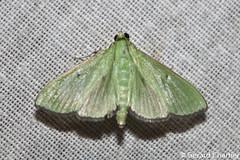 Parotis sp. (GeeC) Tags: tatai animalia crambidae nature arthropoda cambodia kohkongprovince insecta lepidoptera pyraloidea spilomelinae ឃុំឫស្សីជ្ kohkong