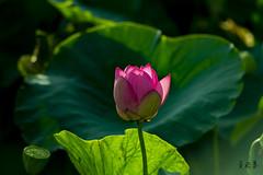 DSC_3192_0001 (albertpcwu) Tags: 荷花 lotus 清水 趙家古厝 hasselblad carl zeiss 4180mm