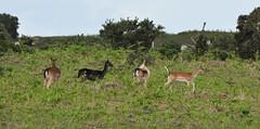 Fallow Deer (Clare_leeloo) Tags: fallowdeer deer newforest nature hampshire