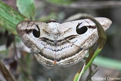 Spirama helicina (GeeC) Tags: noctuoidea animalia cambodia arthropoda nature tatai lepidoptera erebinae kohkongprovince spirama insecta spiramahelicina erebidae butterfliesmoths ឃុំឫស្សីជ្ kohkong