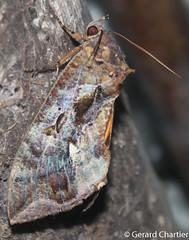 Eudocima phalonia (GeeC) Tags: noctuoidea animalia cambodia calpinae nature tatai lepidoptera arthropoda kohkongprovince eudocimaphalonia insecta erebidae eudocima butterfliesmoths