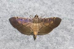 Omiodes sp. (GeeC) Tags: tatai animalia crambidae nature lepidoptera arthropoda kohkongprovince cambodia insecta pyraloidea spilomelinae ឃុំឫស្សីជ្ kohkong