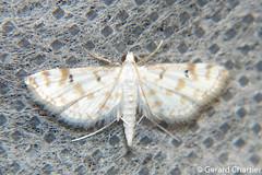Parapoynx stagnalis (GeeC) Tags: tatai animalia crambidae nature acentropinae arthropoda parapoynxstagnalis insecta kohkongprovince cambodia lepidoptera pyraloidea parapoynx butterfliesmoths chinamarkmoths ឃុំឫស្សីជ្ kohkong
