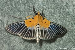 Nevrina procopia (GeeC) Tags: nevrina animalia crambidae nature cambodia lepidoptera tatai kohkongprovince spilomelinae arthropoda pyraloidea insecta ឃុំឫស្សីជ្ kohkong