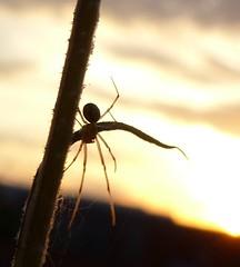 Spinne im Sonnenuntergang (four-hearts) Tags: spinne tier lebewesen natur sonnenuntergang himmel silhouette gegenlicht licht stengel pflanze pflanzenstengel frühling frühjahr abend