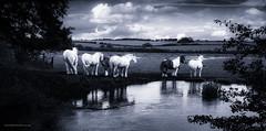 Steed dreams 2 (toniertl) Tags: horse nag carthorse farm river reflection dream imagination soft glow monochrome blackandwhite bw lightandshadow fields openspace