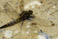DSC04685 - Black tailed Skimmer (steve R J) Tags: black tailed skimmer south hanningfield reservoir ewt reserve essex dragonfly british odonata