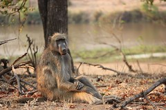 It is okay...they say they have everything under control...!  ( Baboon / Bobbejaan ) (Pixi2011) Tags: baboons krugernationalpark southafrica africa wildlifeafrica wildanimals animals nature