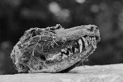 Zähne zeigen (flori schilcher) Tags: schilcher fuchs schädel zahn skelett