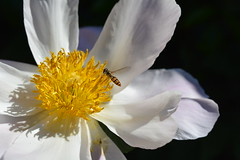 Peony Attraction (suekelly52) Tags: peony flower marmaladehoverfly hoverfly insect fly diptera macro