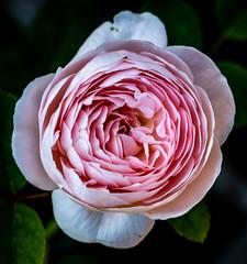 6M7A6327 (hallbæck) Tags: rose blomst flower blume fleur fiore flor blomma espergærde denmark macro canoneos5dmarkiii ef100mmf28lmacroisusm