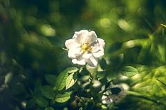 white rose (ang-yan) Tags: jupiter 8m 50mm f20 kievcontax mount юпитер 8м ©angel yanev