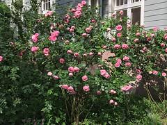 Behind the Fence (Sockenhummel) Tags: rose vorgarten wilmersdorf strase rosenbusch hecke blüten rosa sommer explore explorer explored fluidr today'sexplore inexplore iphone rosengarten
