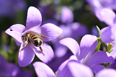 Head into the flowers! (suekelly52) Tags: flower bee insect macro campanula