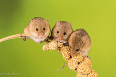 Time for some mice! (Linda Martin Photography) Tags: captivelight wildlife harvestmouse nature hampshire micromysminutus mouse uk animal coth coth5 alittlebeauty naturethroughthelens ngc npc
