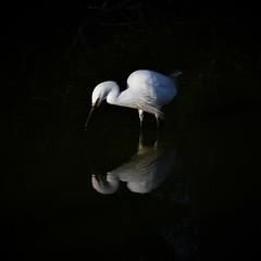 aigrette garzette 19D_2802 (Bernard Fabbro) Tags: aigrette garzette little egret oiseau bird