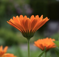 Gerbera #1 (MJ Harbey) Tags: gerbera flower orangeflower orangegerbera asterales asterids asteraceae mutisieae sissinghurstcastlegardens nationaltrust cranbrook kent uk nikon d3300 nikond3300