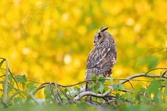 Uszatka, Long-eared Owl (Asio otus) ... 2019r (Rafal Szozda) Tags: birds nature animals wildlife colors meadow spring feedom owl nikon nikkor lens lubuskie poland