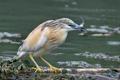 crabier chevelu 19D_3146 (Bernard Fabbro) Tags: crabier chevelu squacco heron oiseau bird