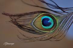 Entre colores( Macro) Madrid (TFNnaranjo) Tags: nikon tfnnaranjo paracuellos españa macro aves madrid pluma pavo