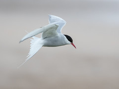 Arctic Tern (Brian Dunning) Tags: arctictern sternaparadisaea longnanny northumberland beadnellbay nationaltrust canon eos7dmarkii ef100400mmf4556lisiiusm