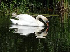 Schwan (judith74) Tags: brandenburg oberhavel ohv oranienburg natur wasservögel schwan spiegelung reflexion