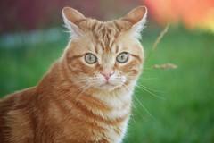 Spritz (En memoria de Zarpazos, mi valiente y mimoso tigre) Tags: cat kitten gato gatto chat greeneyes garden grass portraitcat ginger orangge tabby roux red naranja