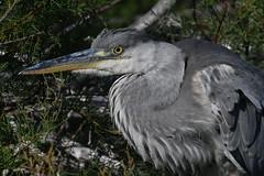 héron cendré 19D_3918 (Bernard Fabbro) Tags: héron cendré grey heron oiseau bird