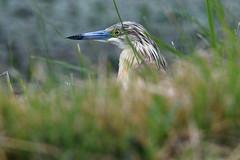 crabier chevelu / Ardeola ralloides 19D_3156 (Bernard Fabbro) Tags: crabier chevelu squacco heron oiseau bird ardeola ralloides