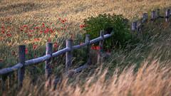 The cat on the fence - Die Katze auf dem Zaun (ralfkai41) Tags: landschaft nature getreide cat outdoor natur agriculture corn summer katze zaun mohn blossoms poppies landwirtschaft blüten flowers feld blumen fence sommer field