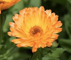 Gerbera #3 (MJ Harbey) Tags: gerbera flower orangegerbera orangeflower asterids asterales asteraceae mutisieae sissinghurstcastlegardens nationaltrust cranbrook kent uk nikon d3300 nikond3300