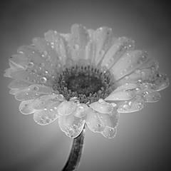 Dew Drops on a Gerbera (mrmartinduffy) Tags: flowers abstract macro stilllife gerbera gerberaflower studio white water waterdrops waterdroplets monochrome blackandwhite