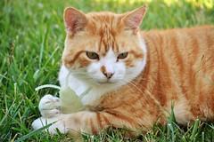 Gino (En memoria de Zarpazos, mi valiente y mimoso tigre) Tags: cat orangeandwhitecat garden grass playing gino