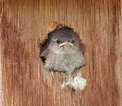 No More Free Lunch (annette.allor) Tags: bird wren baby nest fledgling wildlife nature