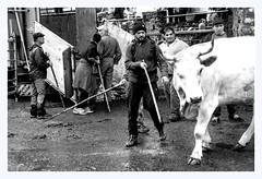 Transhumance sous la pluie (Ariège) (PierreG_09) Tags: seix ariège pyrénées pirineos occitanie couserans hautsalat transhumance tradition fête troupeau bétaillère vache gasconne
