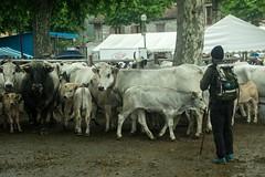 Transhumance sous la pluie (Ariège) (PierreG_09) Tags: seix ariège pyrénées pirineos occitanie couserans hautsalat transhumance tradition fête troupeau vache gasconne