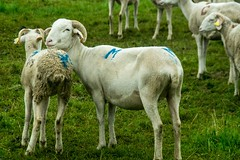 Transhumance sous la pluie (Ariège) (PierreG_09) Tags: seix ariège pyrénées pirineos occitanie couserans hautsalat transhumance tradition fête brebis mouton troupeau